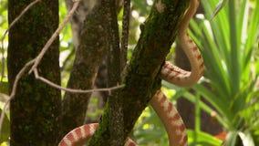 Le serpent d'arbre de Brown s'est étiré sur la branche banque de vidéos
