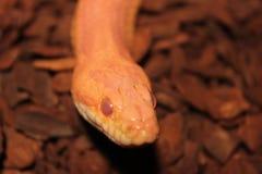 Le serpent d'herbe est muer/Ringelnatter Photo stock