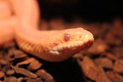 Le serpent d'herbe est muer/Ringelnatter Photographie stock libre de droits