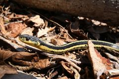 Le serpent de jarretière se dore au soleil et les feuilles sèches Image stock