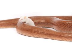 le serpent et la souris sont des amis Image libre de droits