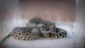 Le serpent lisse de mouvement lent a lové et sort l'intérieur de langue de la boîte en verre banque de vidéos