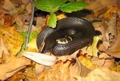 Le serpent a lové un dans une boule Photos stock