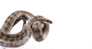 Le serpent a tordu dans un gobelet Image stock