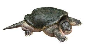 Le serpentina de Chelydra de tortue de rupture rampe et soulève une tête du ` s sur le fond d'isolement par blanc Vue de côté Images stock