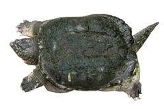 Le serpentina de Chelydra de tortue de rupture rampe et soulève une tête du ` s sur le fond d'isolement par blanc Vue supérieure Image libre de droits