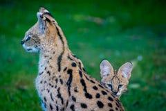 Le Serval avec le chaton regardant de lui est de nouveau à l'appareil-photo photographie stock libre de droits