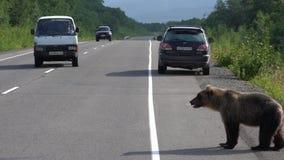Le seul ours brun affamé marchant sur la route et prie la nourriture des personnes banque de vidéos