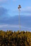 Le seul pin de Lodgepole Photos libres de droits