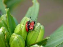 Le sexe du coléoptère. Amour sur la nature. Image stock