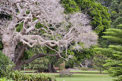 Le siège de jardin sous le bel Asiatique a sculpté l'arbre, Sydney Botannical Gardens La Nouvelle-Galles du Sud, Australie photographie stock libre de droits