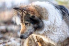 Le Sibérien est Laika (chien de traîneau relatif de race) Scène de chasse photographie stock libre de droits