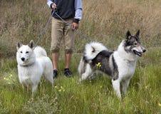 Le Sibérien Laika de deux chiens de chasse est allé sur une chasse Image libre de droits