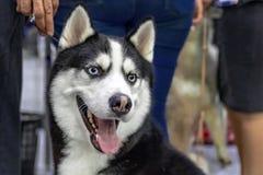 Le siberianen Husky Dog Gullig skrovlig hund med blåa ögon royaltyfria foton