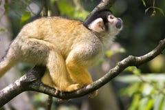 Le singe-écureuil Photo libre de droits