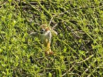 Le singe-écureuil commun, sciureus de Saimiri, recherche la nourriture dans le support photo libre de droits
