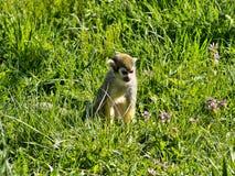 Le singe-écureuil commun, sciureus de Saimiri, recherche la nourriture dans le support photos stock