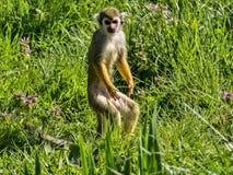 Le singe-écureuil commun, sciureus de Saimiri, recherche la nourriture dans le support photos libres de droits