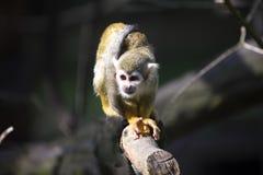 Le singe-écureuil commun, sciureus de Saimiri vivent dans les familles nombreuses photos stock