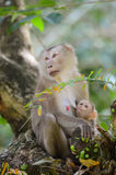 Le singe alimentent son enfant. Images stock
