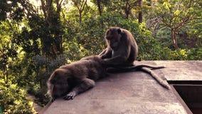 Le singe attrape des puces de son associé banque de vidéos