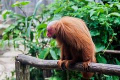Le singe chauve d'uakari photo libre de droits