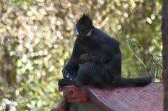 Le singe d'araignée regarde fixement vers le bas caméra derrière la clôture de barrière le zoo de LA photographie stock