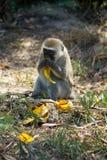 Le singe dans la faune de l'Afrique mangent la banane photos libres de droits