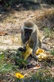 Le singe dans la faune de l'Afrique mangent la banane images libres de droits