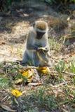 Le singe dans la faune de l'Afrique mangent la banane image stock