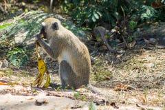 Le singe dans la faune de l'Afrique mangent la banane photos stock