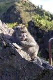 Le singe dans le sauvage, volcan Batur ville courante de coucher du soleil de forme de bel Indonésie d'île de bali homme de kuta  Photos stock