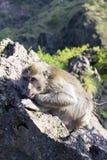 Le singe dans le sauvage, volcan Batur ville courante de coucher du soleil de forme de bel Indonésie d'île de bali homme de kuta  Image libre de droits