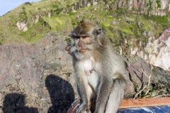Le singe dans le sauvage, volcan Batur ville courante de coucher du soleil de forme de bel Indonésie d'île de bali homme de kuta  Photos libres de droits