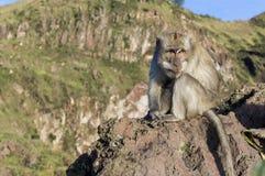 Le singe dans le sauvage, volcan Batur ville courante de coucher du soleil de forme de bel Indonésie d'île de bali homme de kuta  Images libres de droits