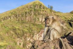 Le singe dans le sauvage, volcan Batur ville courante de coucher du soleil de forme de bel Indonésie d'île de bali homme de kuta  Photo stock