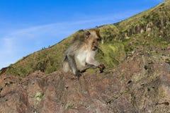 Le singe dans le sauvage, volcan Batur ville courante de coucher du soleil de forme de bel Indonésie d'île de bali homme de kuta  Photo libre de droits