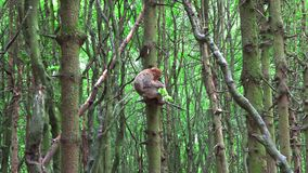 Le singe de Barbarie mange de la salade sur l'arbre banque de vidéos
