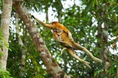 Le singe de buse femelle avec un bébé de sauter de l'arbre à l'arbre dans la jungle l'indonésie L'île du Bornéo Kalimantan images stock