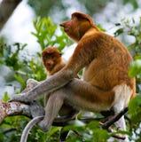 Le singe de buse femelle avec un bébé se repose sur un arbre dans la jungle l'indonésie L'île du Bornéo Kalimantan Photos libres de droits