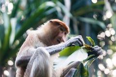 Le singe de buse mange des feuilles d'arbre Images libres de droits