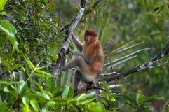 Le singe de buse ou le larvatus de Nasalis ou singe au nez long, Indonésie Images stock