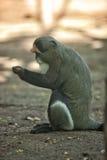 Le singe de DeBrazza Photo libre de droits