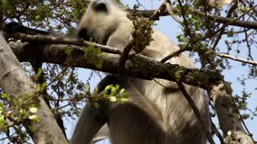 Le singe de Langur alimente sur le fruit d'un arbre dans les branches banque de vidéos