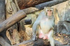 Le singe de macaque de rhésus (mulatta de Macaca) Images stock