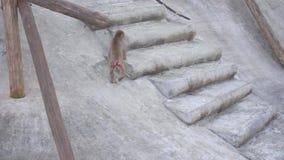 Le singe de Macaque est marchant et recherchant la nourriture clips vidéos