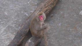 Le singe de Macaque est reposant et attendant la nourriture clips vidéos