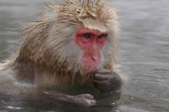 Le singe de neige onsen dedans Image libre de droits