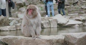 Le singe de neige se repose onsen dessus, source thermale, mur et les secousses se dirigent vigoureusement banque de vidéos