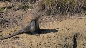 Le singe de vue de côté de plan rapproché se repose et mâche banque de vidéos